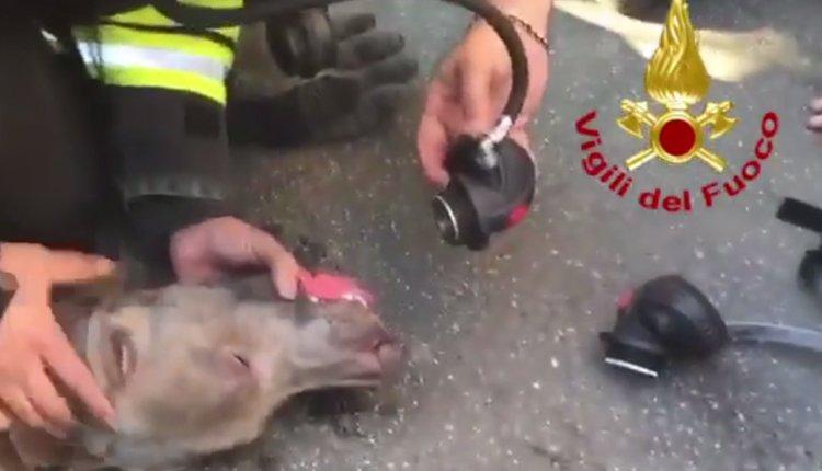 cane Rianimato